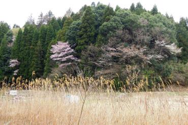 Sakura2013033101
