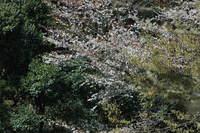 Sakura20050409